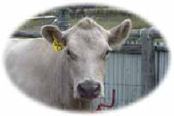 Murray Grey Beef Cattle Cow